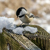 Chickadee of Kensington Metropark