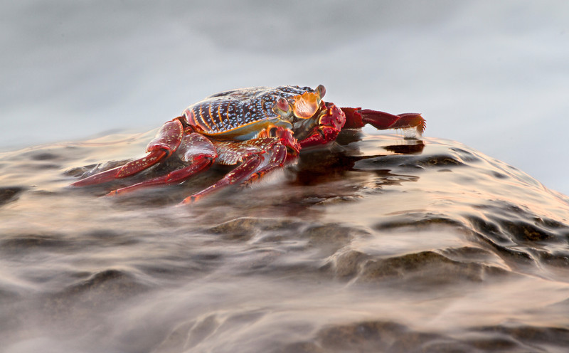 A wave washes over a Sally Lightfoot crab, near Punta Blanca on Baja California's Sea of Cortez coastline. November, 2013.