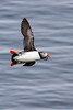 Flying puffin with herring