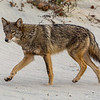 Coyote on Beach, Sandy Hook, NJ