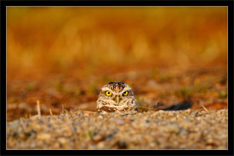 Behind the Mound  A burrowing owl peeks out from a dirt mound to scan the surroundings.  The owl is waiting for sunset before coming out of its in-ground home.  Shoreline Park Mountain View, California  13-AUG-2011