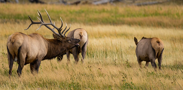 Bull Elk Bugling