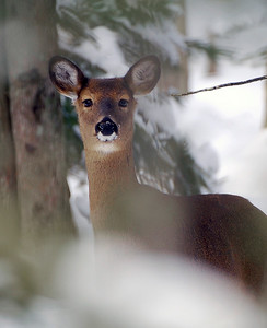 Deer in Winter Snow - Naubinway, Michigan
