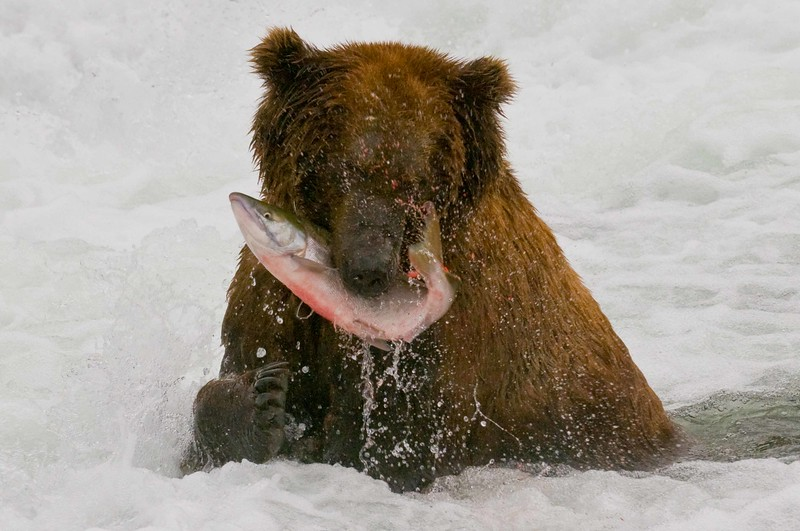 Grizzly, Katmai National Park, Alaska