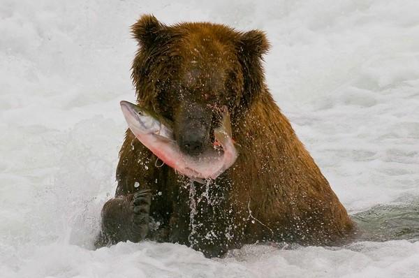 Grizzly, Katmai National Park, Alaska