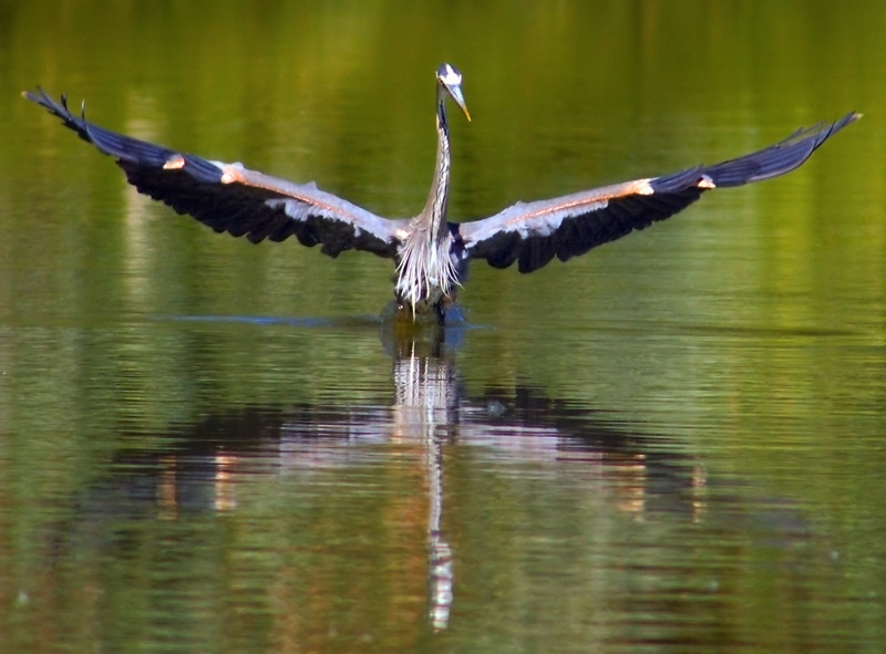 Stretching Great Blue Heron (2nd Version)