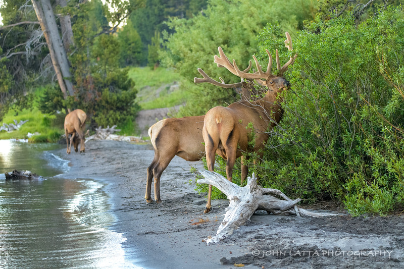 Bull Elk Browsing on Willow