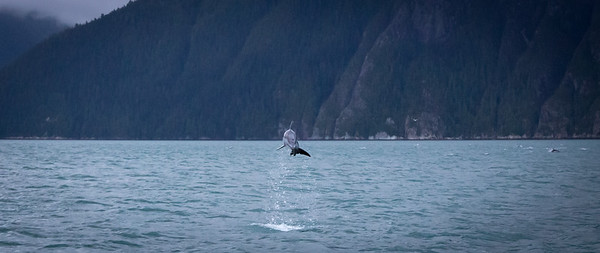Pacific White Sided Dolphin jumping for joy!