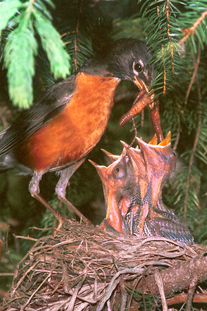 Robin feeding babies at nest.