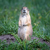 Alert Black Tailed Prairie Dog  on mound at Fort Niobrara National Wildlife Refuge near Valentine, Nebraska