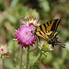 76 - Monarch on Thistle