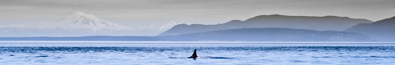 Orca at Turn Point