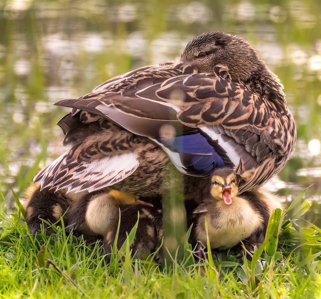 Ducklings Sheltering under Mother Duck
