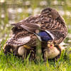 Ducklings Sheltering under Mother Duck