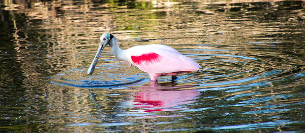 Roseate Spoonbill wading in a pond