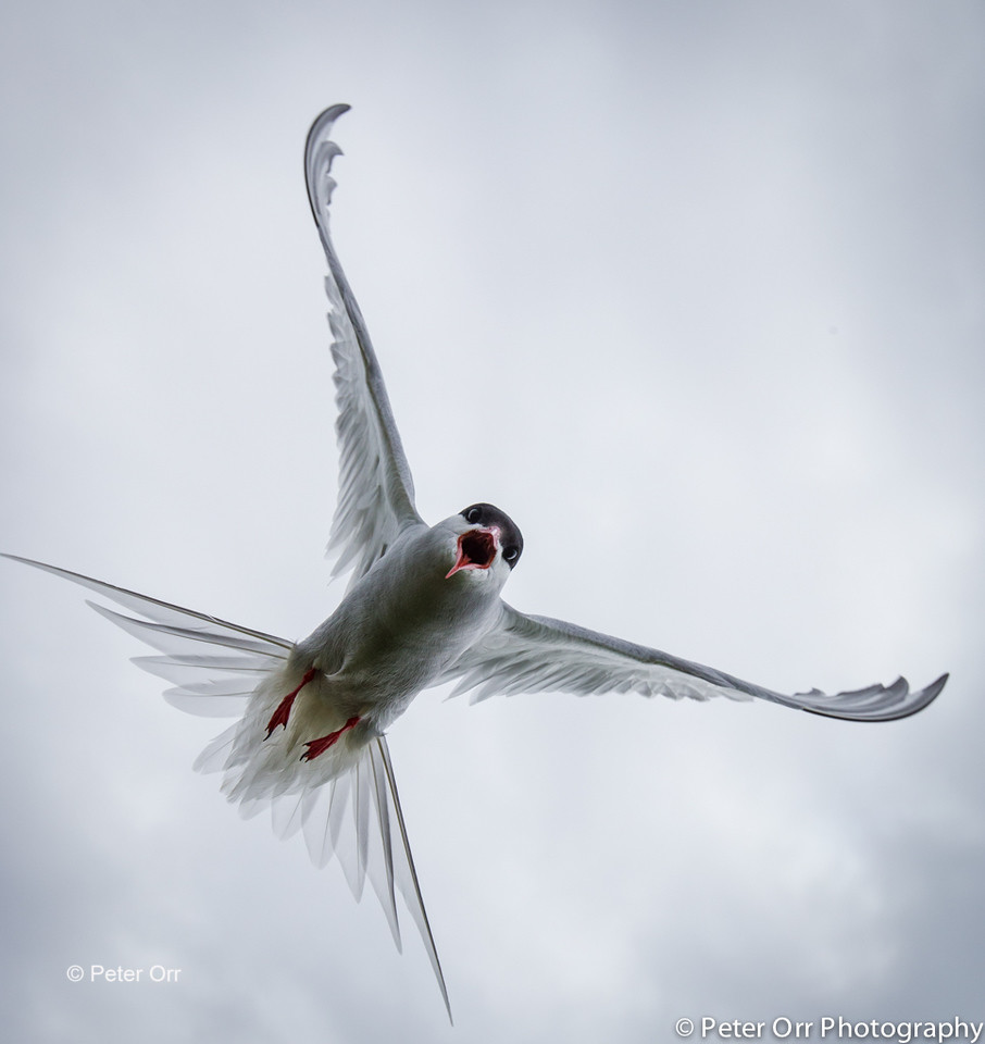 Farne Island Arctic Tern