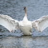 Trumpeter Swan Cygnet Stretches Wings