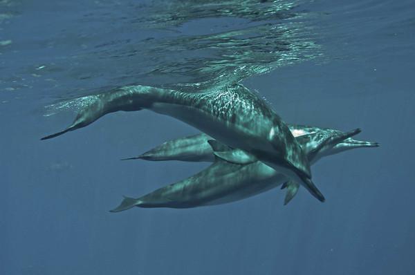 Spinner Dolphins, Big Island, Hawaii