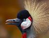 The Crowned Crane Conversationalist