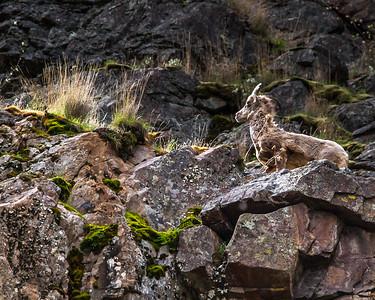 Bighorn Hells Canyon