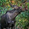 Moose Muncher