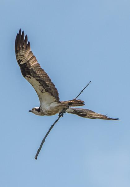 Osprey Bringing Branch to Nest 5/26/16