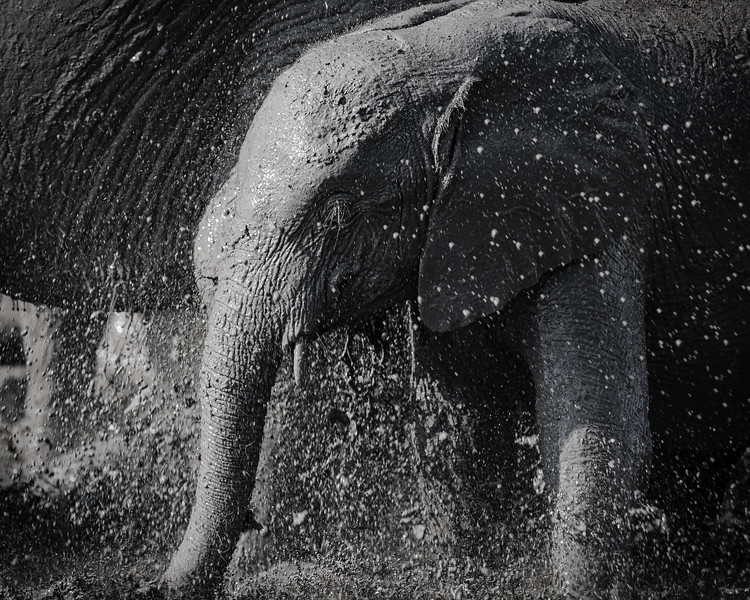 Mud cools, mud protects.  From sun, from ticks.  This young elephant is finding a ready supply of this protection in the company of mother with some of the finest national park mud.  Tanzania 2015.