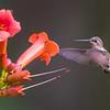 Ruby-Throated Hummingbird 7/27/16