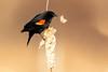 Red-winged Blackbird — Picking apart a Cattail