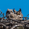 Great Horned Owl and Owlet 4/22/18