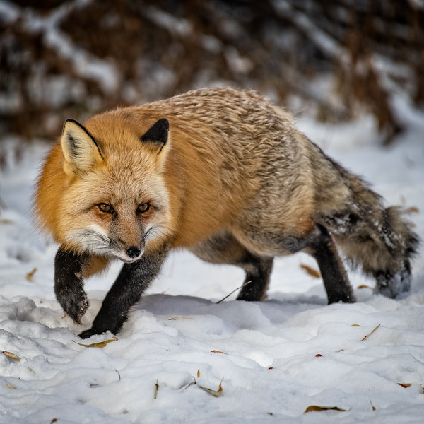 Red Fox Sneaking in the Snow