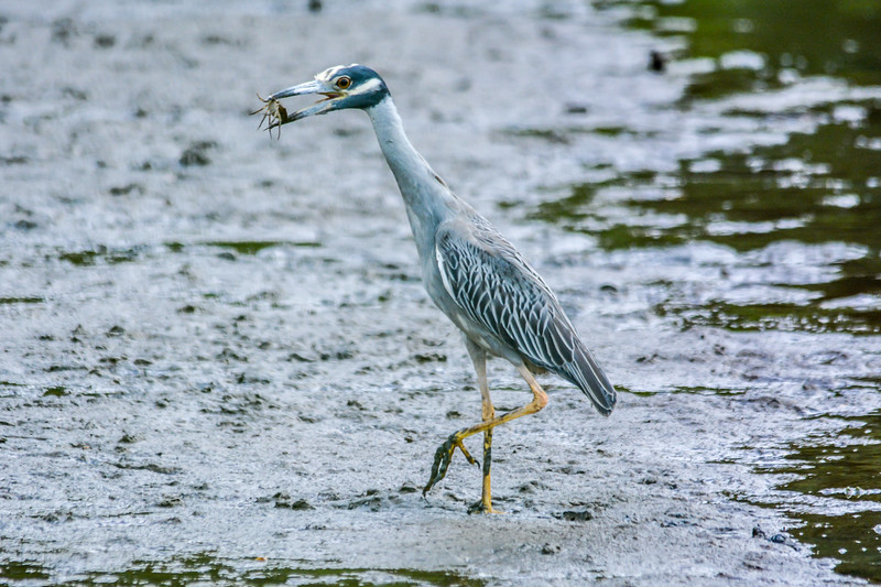 Heron with Crab