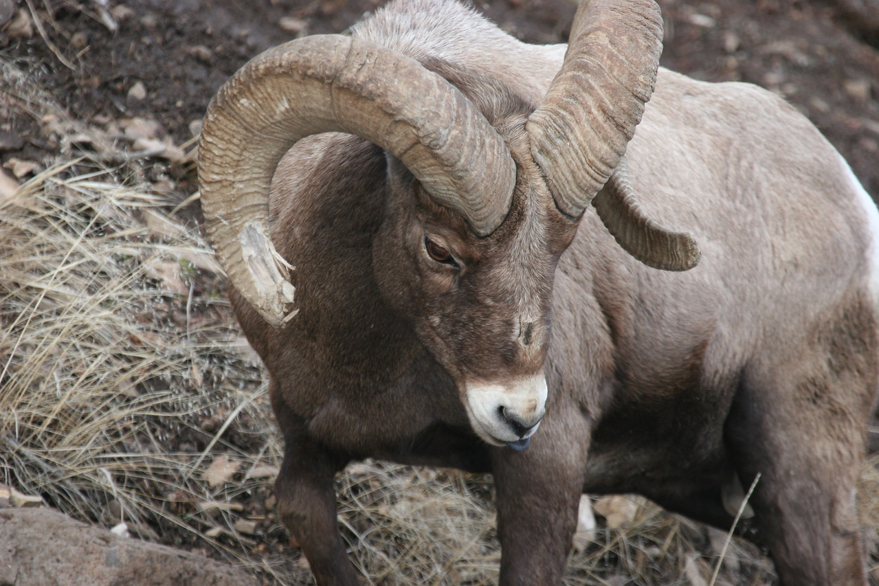 Big Horn Sheep - Yellowstone National Park