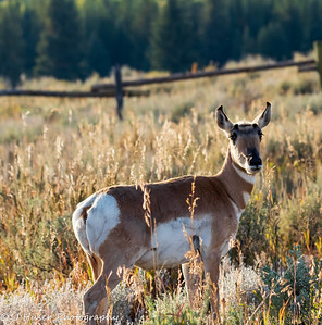 Sideview of one Pronghorn Antelope