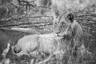 Juvenile male Lion ... Tanzania