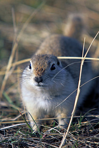 Richardson Ground Squirrel