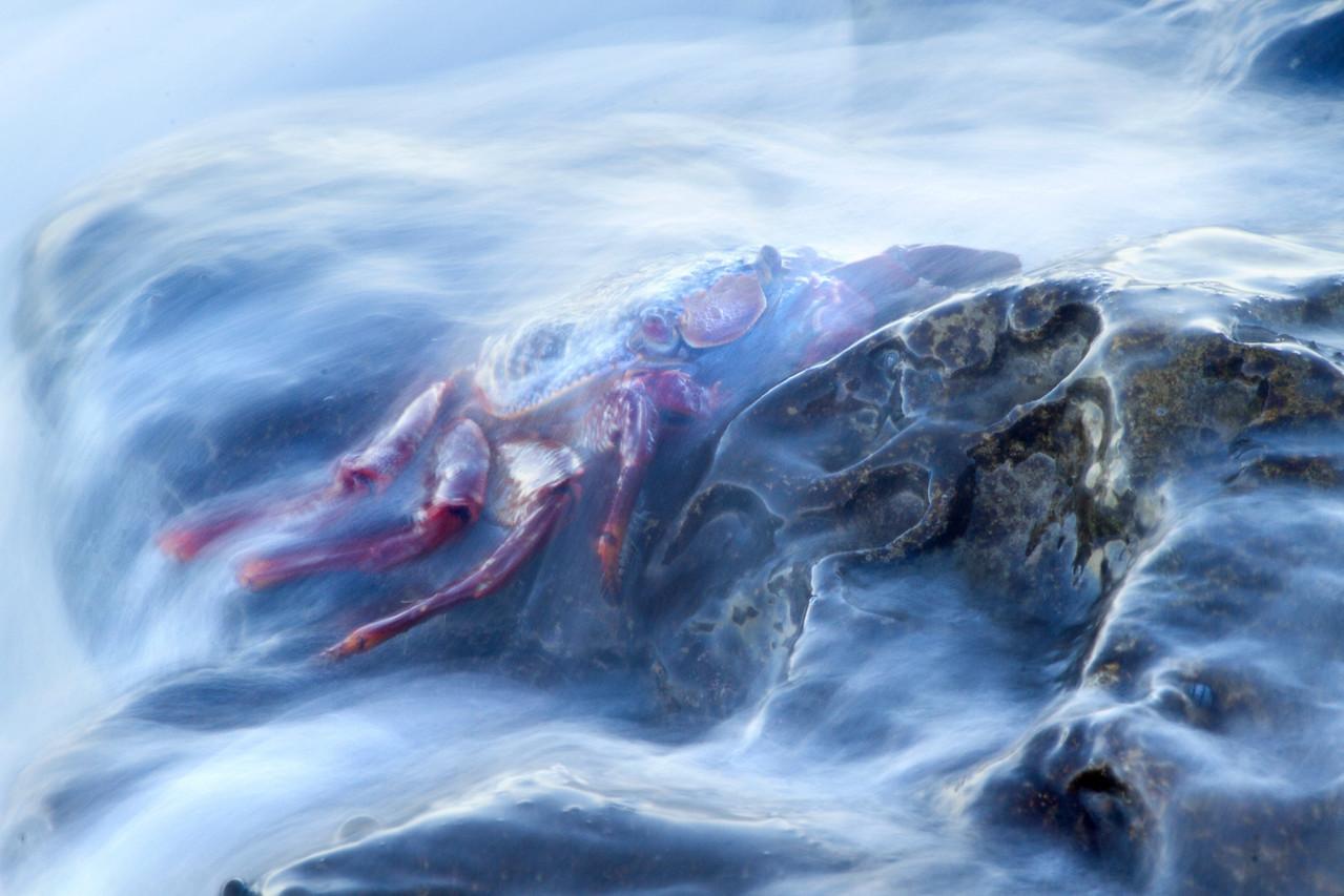A wave washes over a Sally Lightfoot crab, near Punta Blanca on Baja California's Sea of Cortez coastline. November, 2013.