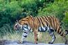 Tigress on the Move