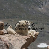 Mount Evans Mountain Goats #6