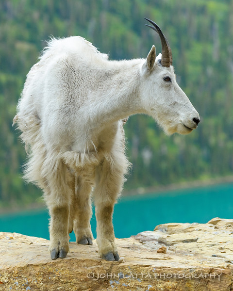 Mountain Goat Shedding Winter Coat