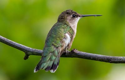 Ruby-Throated Hummingbird 7/24/18