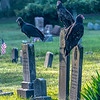 Turkey Vultures Perched On Gravestones 8/31/19