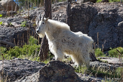 Black Hills Mountain Goat