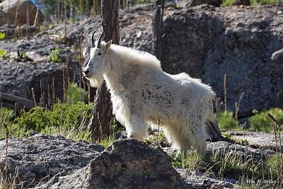 Black Hills Mountain Goat