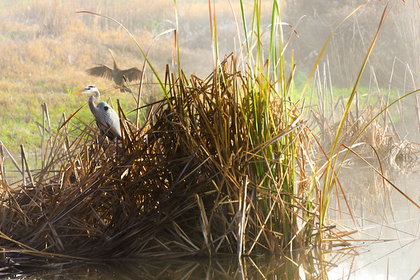 Heron and Anhinga Morning Mist