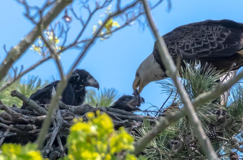 A Bald Eagle Feeding Its Eaglet Pair 4/23/19