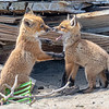 Red Fox Kits Playing 4/27/21