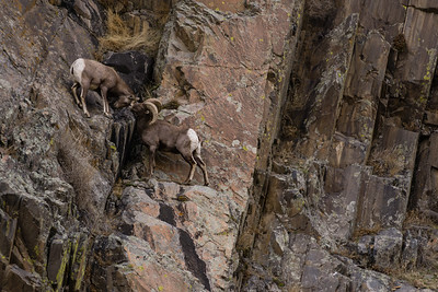 Bighorn Sheep in Big Thompson Canyon
