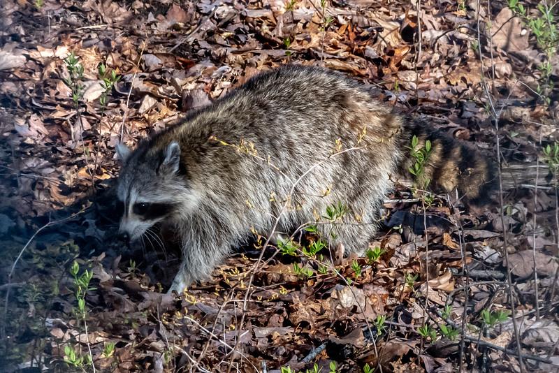 A Raccoon 5/2/20