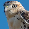Krider Red-Tailed Hawk Close-Up 11/11/16